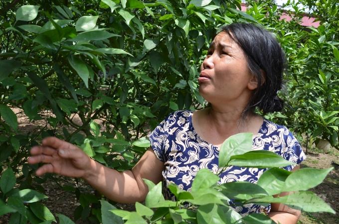 Vườn cam Canh 5 năm không có quả