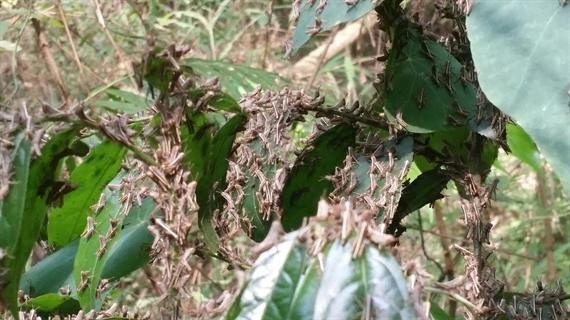 Châu chấu ăn theo đàn, mật độ khoảng 100-200 con/m2